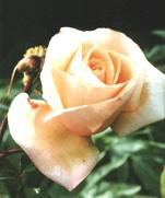 rosa autunnale n. 3