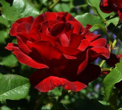 dame-de-coeur-rose