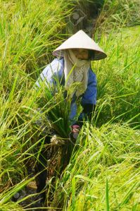 10048546-Vietnamese-peasant-in-the-rice-field-Stock-Photo