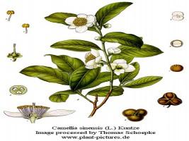 camellia_sinensis_botanica