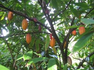 albero del cacao