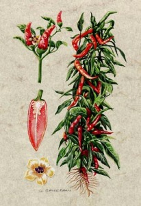 peperoncino disegno botanico