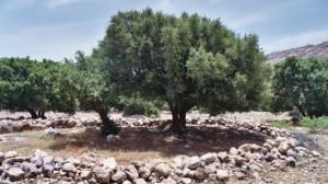 albero-di-argan-1024x682-570x321