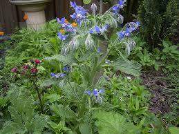 borragine-pianta-con-fiori